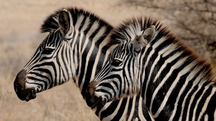 Have we finally figured out why the zebra sports such eye-jarring dichromatic stripes?