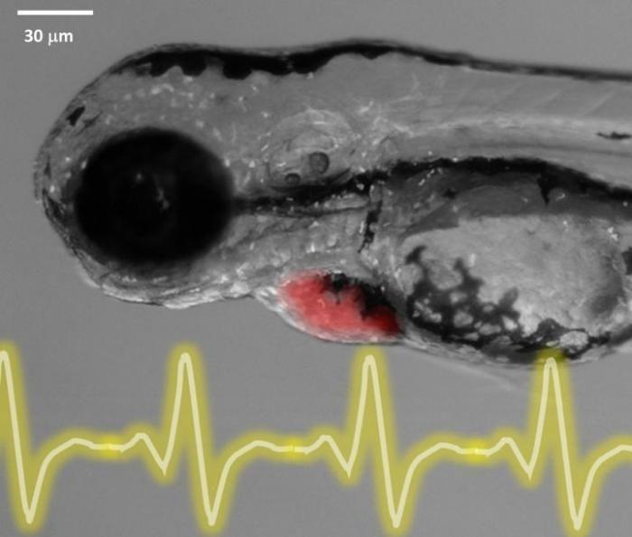 Zebrafish embryo ECG 3 days post-fertilization