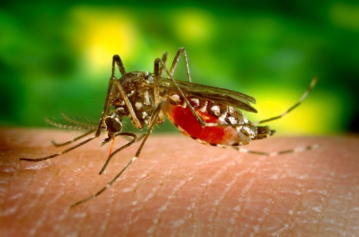 The yellow fever mosquito Aedes aegypti, taking a bloodmeal./ Credit: CDC - PHIL