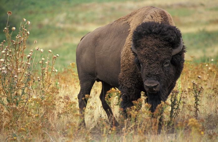 89 American Bison will be returning to their ancestors' homeland in Montana, United States.