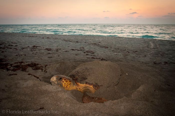 An image of Isla, a leatherback sea turtle tagged for scientific research by scientists with the nonprofit organization Florida Leatherbacks, Inc.