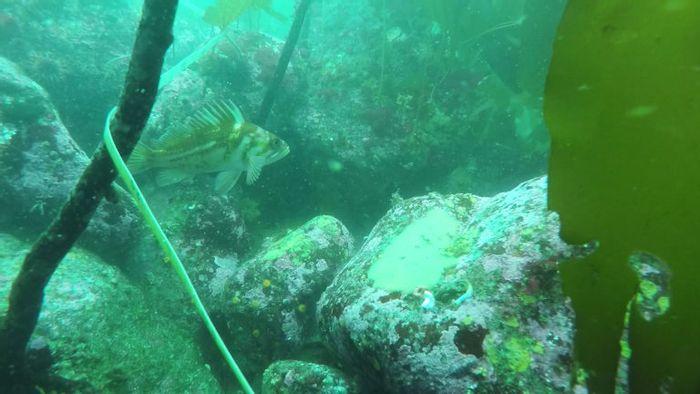 Coralline algae in a kelp forest. Credit: Jenn Burt