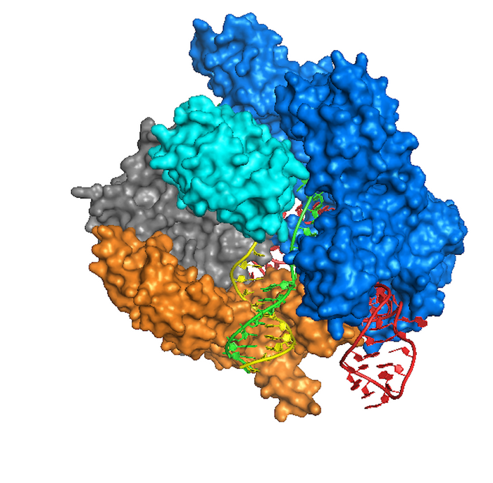 Crystal Structure of Cas9 bound to DNA based on the Anders et al 2014 Nature paper. Rendition was performed using UCSF's chimera software / Credit: Wikimedia Commons