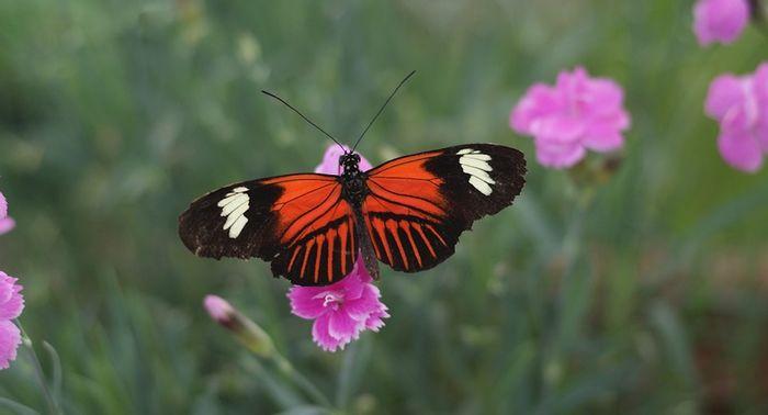 Helioconius butterfly / Credit: Max Pixel
