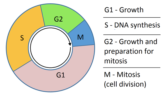 A very simple look at the cell cycle, from Wikimedia Commons