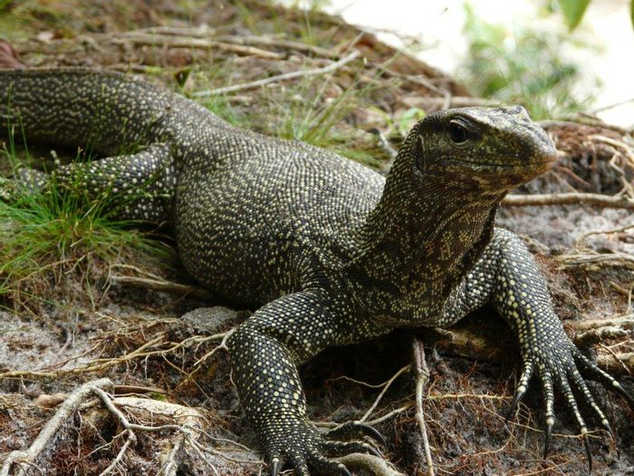 Monitor lizards have been trained to stop eating the deadly cane toads.