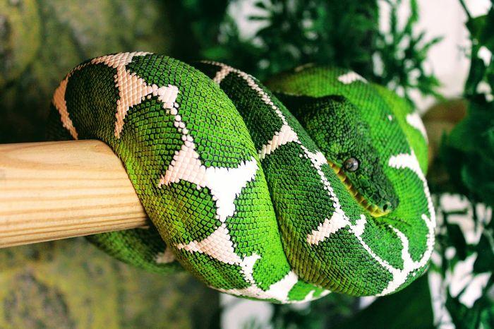 Pictured is a mature female Amazon Basin Emerald Tree Boa.