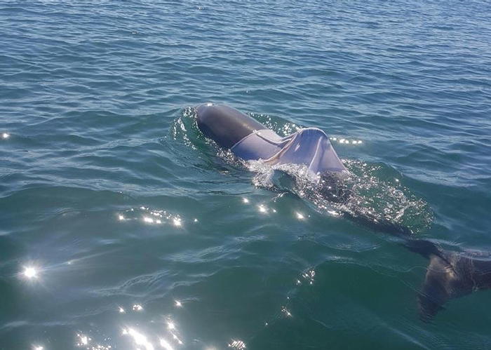 A wild bottlenose dolphin has been spotted in the wild with a T-shirt on. And that's not good.