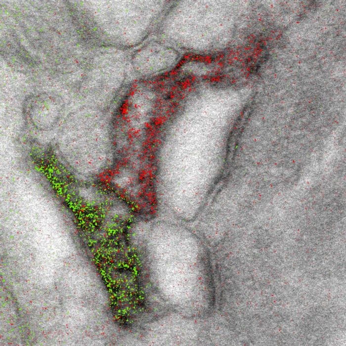 Two-color merge of the spectrally separated elemental maps (green for Ce and red for Pr) overlaid on a conventional image, showing the two different astrocyte processes contacting the same synapse. / Credit: Adams et al./Cell Chemical Biology 2016
