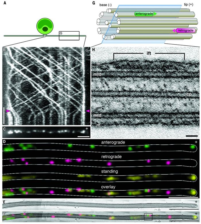 (A) A Chlamydomonas cell with gliding flagella - enlargement in (G). (B) Kymograph of fixation during live-cell imaging of Chlamydomonas. (C) TIRF microscopy image of the positions of IFT trains after fixation. (D) Each IFT train was color-coded according to the direction of movement: anterograde, green; retrograde, magenta; and standing, yellow. (E) Longitudinal section through the cilium 3D reconstruction. (F) Overlay of fluorescence and EM images on the section shown in (E) - enlarged in (H). (G) Diagram of anterograde and retrograde trains traveling along microtubule doublets. The plane of the virtual slice in (H) is marked. (H) Virtual slice through the tomogram, containing an anterograde IFT train