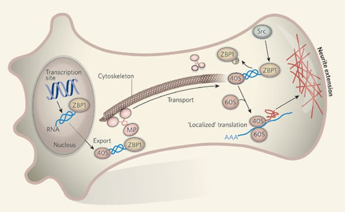 ZBP1 associates with the mRNA in the nucleus and is exported to the cytoplasm