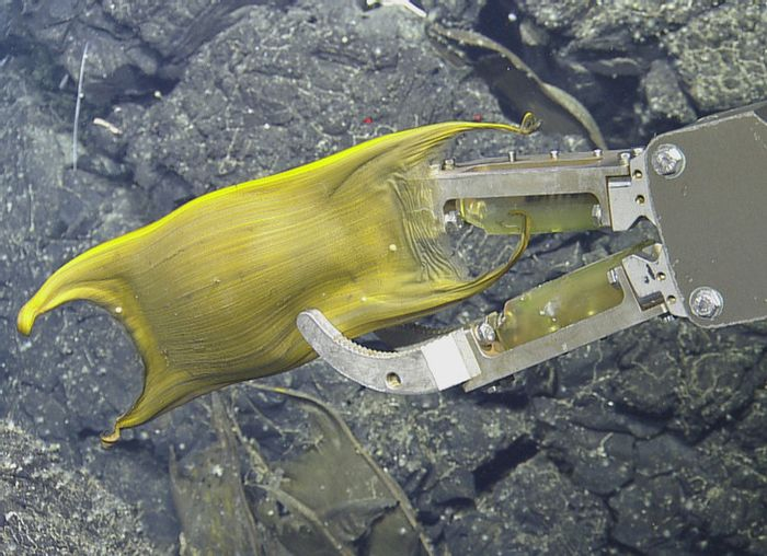 One of the egg cases collected as a sample by the ROV.