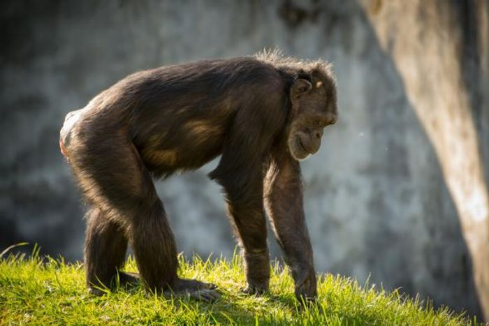 Unrelated: A chimpanzee named Chloe from Oregon Zoo.