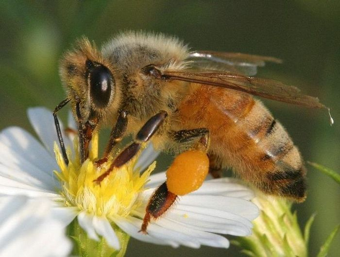 Honey bees pollinate many crops.