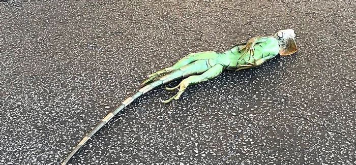 An iguana that fell out of a tree in South Florida.