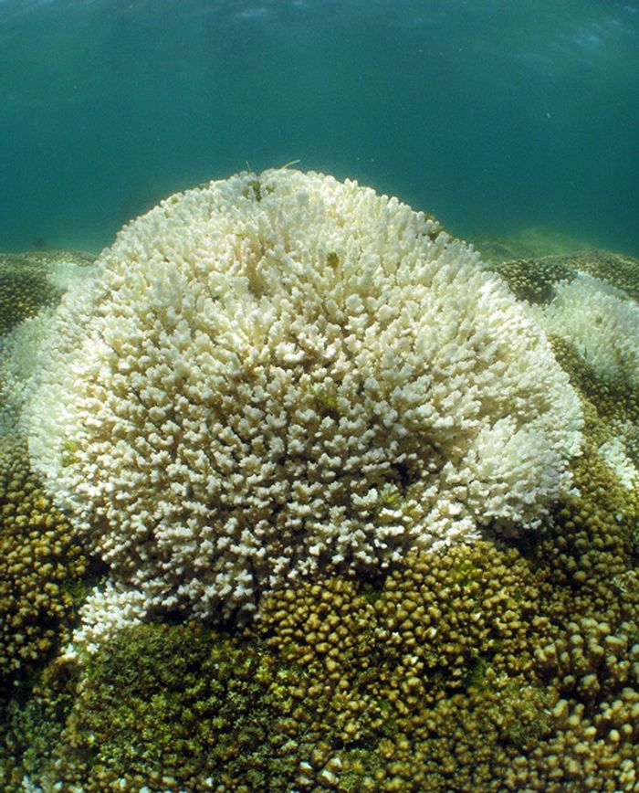 Corals that host a recently-discovered type of algae may be more resilient against warmer waters associated with climate change.