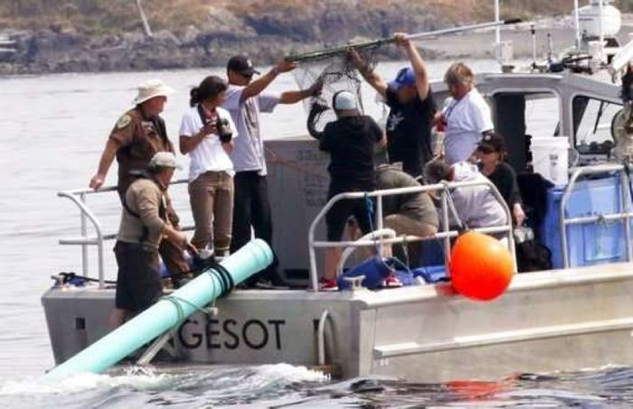 Conservationists with the NOAA attempt to feed J50 live salmon through a plastic pipe on the back of their boat.