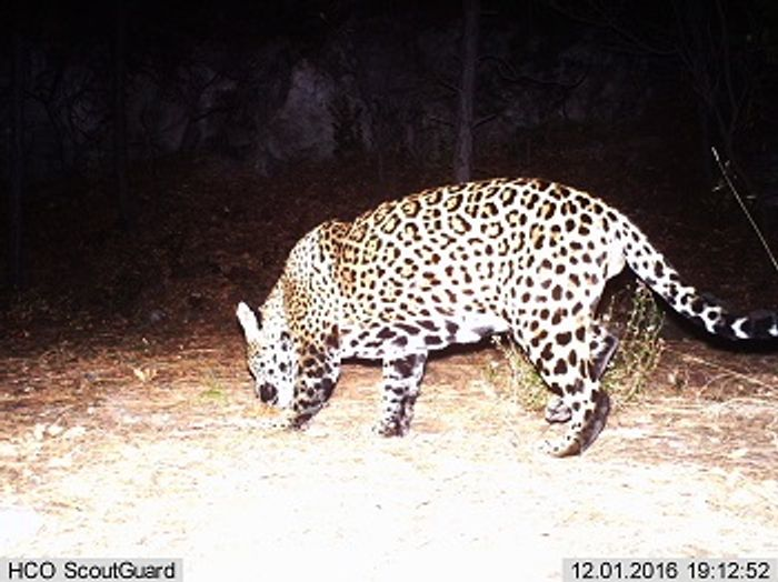 A wild jaguar was spotted in Arizona earlier this month, something you just don't see every day.