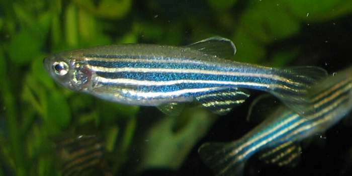 A female specimen of a zebrafish (Danio rerio) breed with fantails.