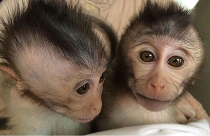 Macaque monkeys with extra copies of MECP2 gene show autism-like behaviors.