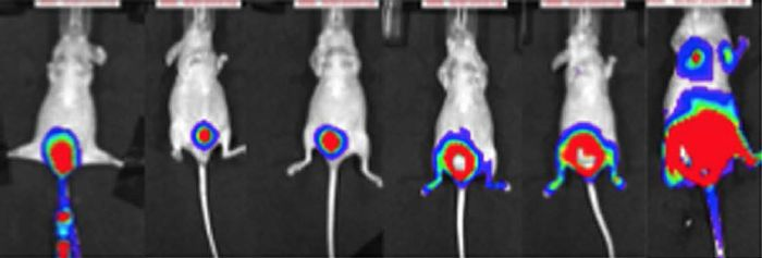 Tumor growth in the xenograft bladder cancer model was monitored using a bioluminescence imaging system. Forty-five days after inoculation, metastatic tumors were detected in the lungs, liver and bone. (Matsumoto R. et. al., Scientific Reports, October 4, 2016)