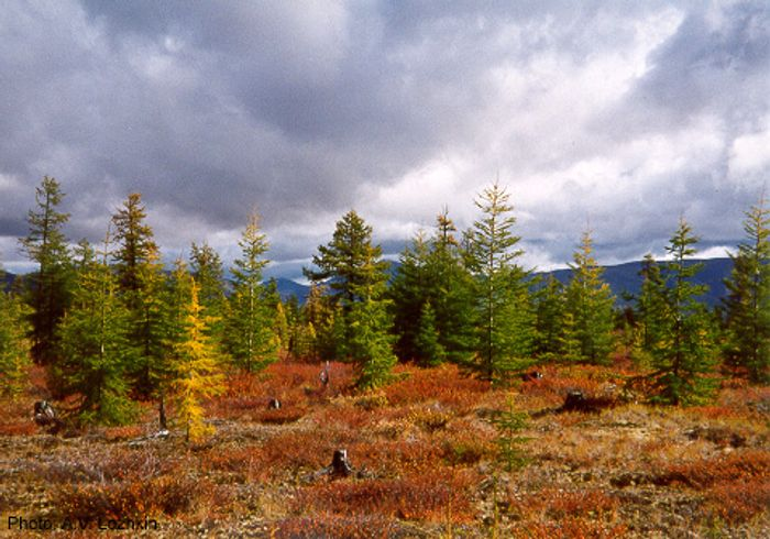 The Dahurian larch tree is known for its ability to withstand harsh winters in the northern boreal forests. Photo: Wikipedia