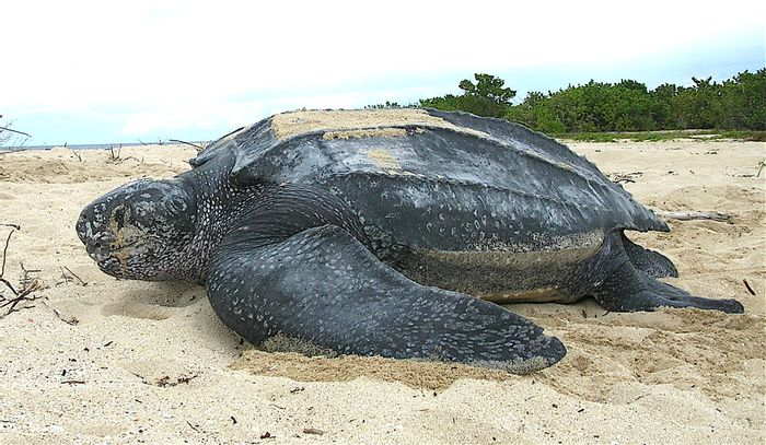 The leatherback sea turtle might get some endangerment status changes in the United States.