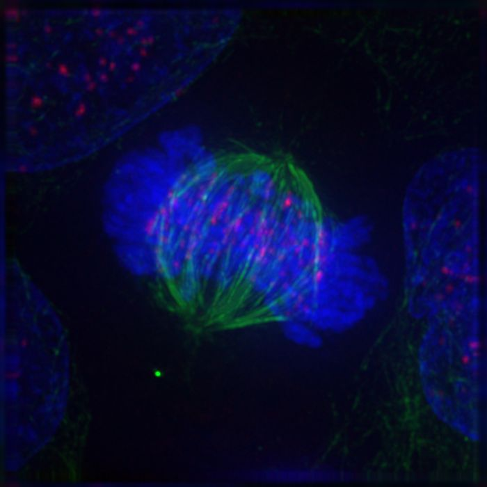 Cell in metaphase / Credit: Wikimedia Commons/Roy van Heesbeen