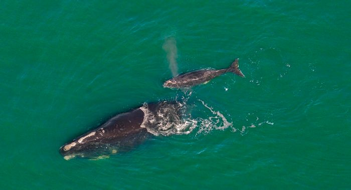 A North Atlantic right whale mother and her calf swimming together in the Atlantic Ocean from another season.