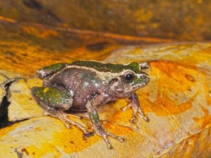 This is one of the newly-discovered frog species.