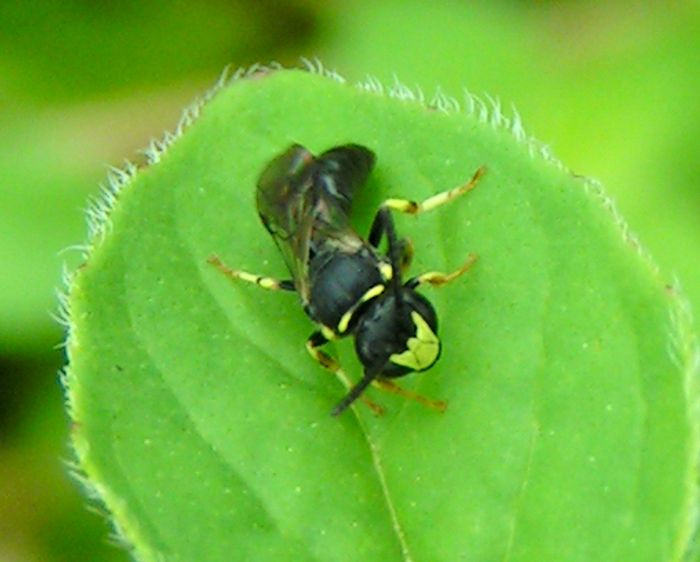 Seven species of yellow-faced bees from Hawaii are now considered endangered species.
