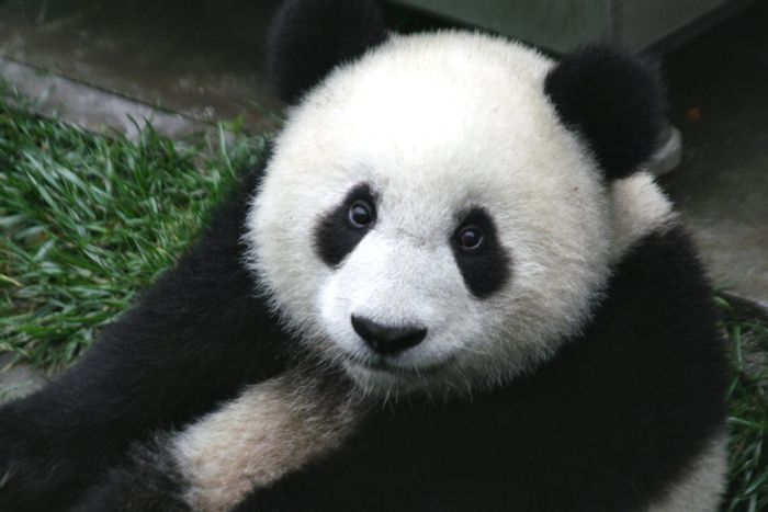 "There's a light at the end of the tunnel for the Giant Panda, as the IUCN unmarks the species as ""endangered,"""