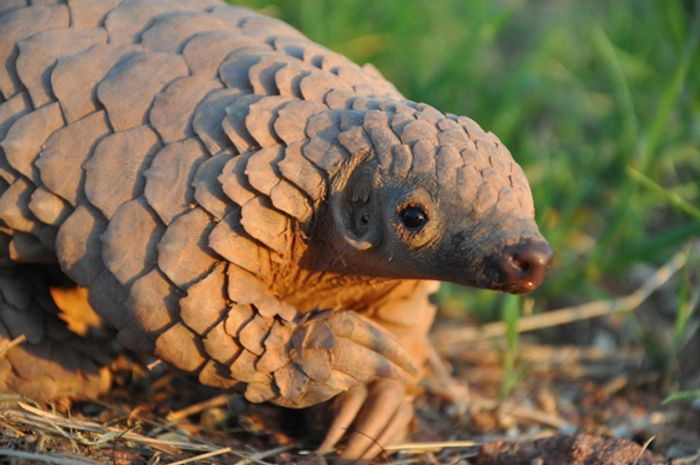 The pangolin is a warm blooded animal. The one surviving family, Manidae, has one sort, Manis, which embodies eight species.Photo:  wildlifeanimalz.blogspot.com