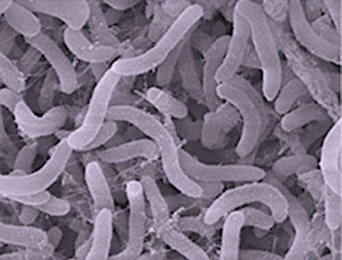 Pelagibacter / Credit: NOAA / Ocean Exploration and Research