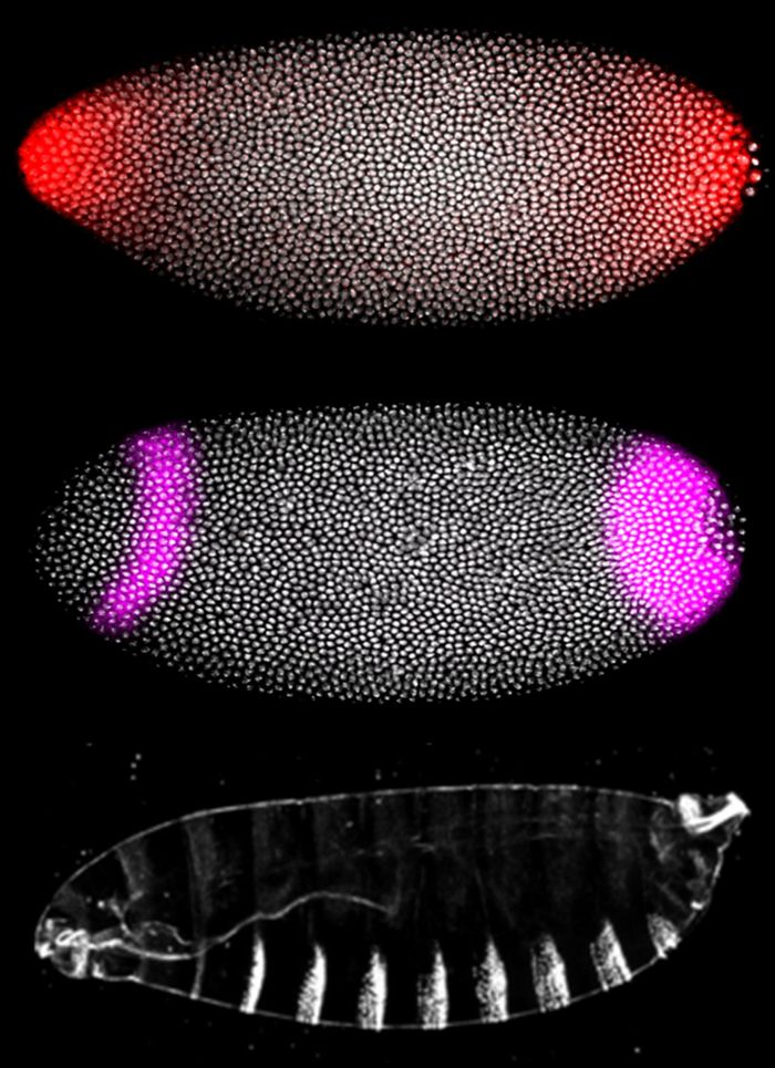 Researchers observed in zebrafish and fruit fly embryos how cancer-related mutations in the RAS pathway -- a biochemical system cells use to transmit information from their exterior to their interior -- caused severe deformations. Fruit-fly embryos (above) showed how signals at the early stage of development (red in top photo) activate genes (purple in middle photo) and pattern structures in the fly larva (bottom photo.) Credit: (Photo courtesy of Stanislav Shvartsman, Department of Chemical and Biological Engineering