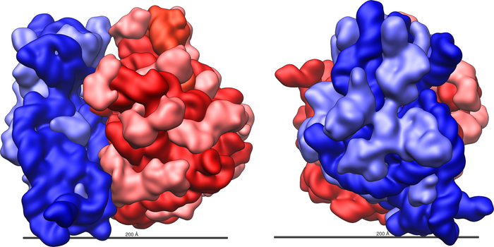 Structure and shape of the E.coli 70S ribosome. The large 50S ribosomal subunit (red) and small 30S ribosomal subunit (blue) are shown with a 200 Ångstrom (20 nm) scale bar. For the 50S subunit, the 23S (dark red) and 5S (orange red) rRNAs and the ribosomal proteins (pink) are shown. For the 30S subunit, the 16S rRNA (dark blue) and the ribosomal proteins (light blue) are shown. / Credit : Vossman/Wikimedia Commons
