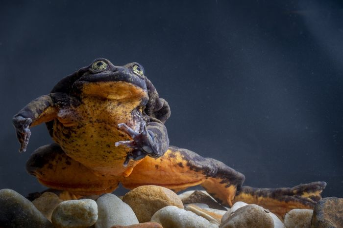 A photograph of Romeo, one of the few remaining Sehuencas water frogs in existence today.
