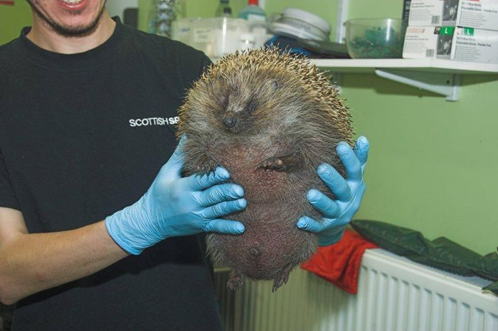 A Scottish SPCA team member holds the 'ballooned' hedgehog up for a photo.