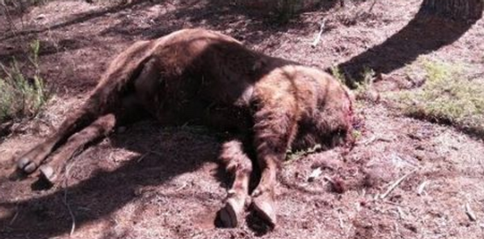 A graphic image of Souron's decapitated carcass at the reserve in Spain.