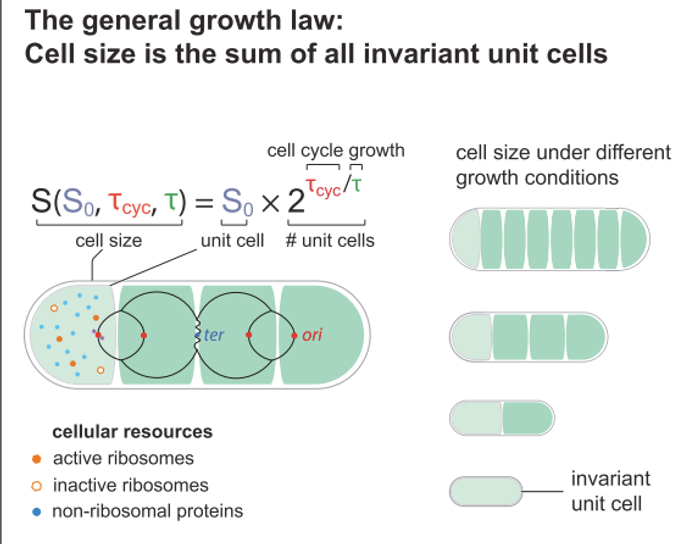 """Graphical abstract, Si et al Current Biology 2017 - a """"quantitative coordination principle of bacterial cell size control under any growth condition"""""""
