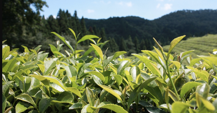 Green tea plantation / Credit: Pixabay