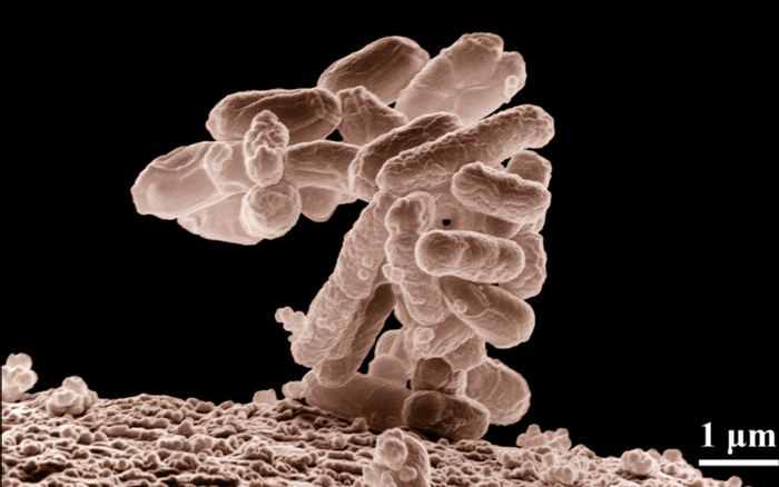 ow-temperature electron micrograph of a cluster of E. coli bacteria (a common intestinal bacterium), magnified 10,000 times. Each individual bacterium is oblong shaped./ Credit: United States Department of Agriculture.
