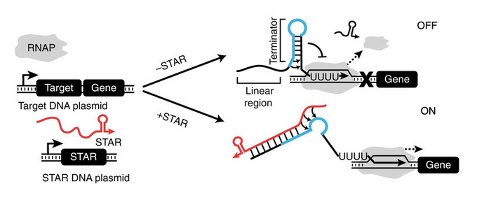 Schematic of the STAR mechanism. The formation of a terminator hairpin causes RNA polymerase (RNAP) to terminate transcription upstream of the gene (gene OFF). STARs (colored red) bind to both the linear region and the 5' half of the terminator hairpin (colored blue) of the target RNA, preventing terminator formation and allowing transcription elongation of the gene (gene ON) / Credit: Chappell et al Nature Communications