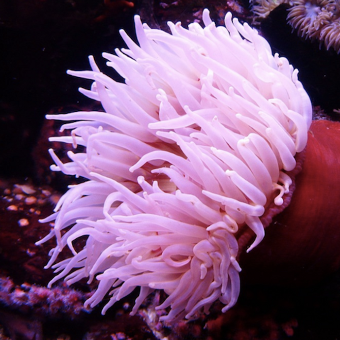 A sea anemone / Credit: Pixabay