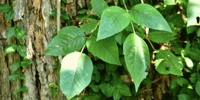 Poison ivy / Credit: Public domain pictures