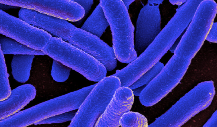 Colorized scanning electron micrograph of Escherichia coli, grown in culture and adhered to a cover slip./  Credit: NIAID