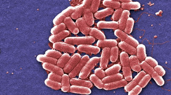 Many bacterial strains can make up the microbiome, like E coli, seen here / Image credit: Adapted from pixnio