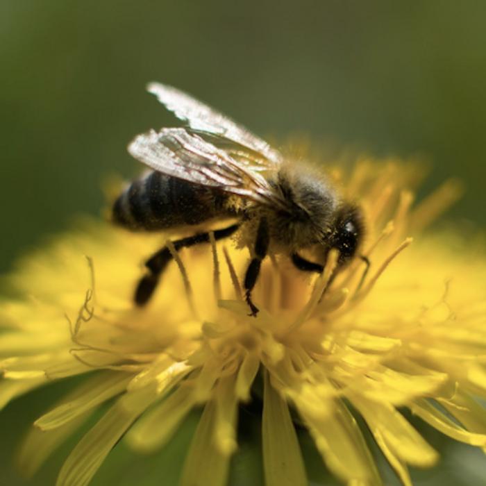 Honeybee / Credit: Maxpixel