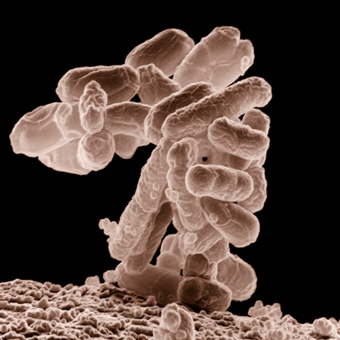Gut microbes like E. coli have a big impact on our health. / Image credit: United States Department of Agriculture