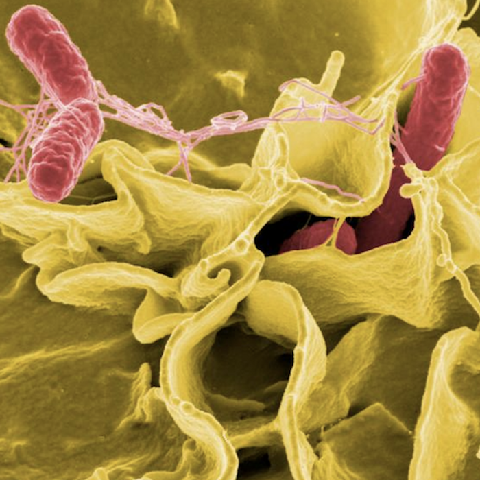 Salmonella bacteria, a common cause of foodborne disease, invade an immune cell. / Credit: NIAID